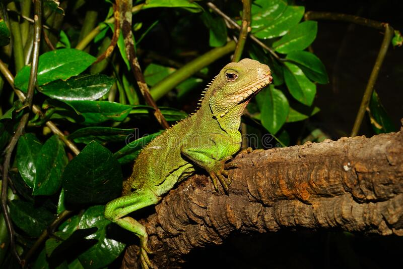 Green Lizard on Brown Tree Branch Beside Green Leaves royalty free stock images