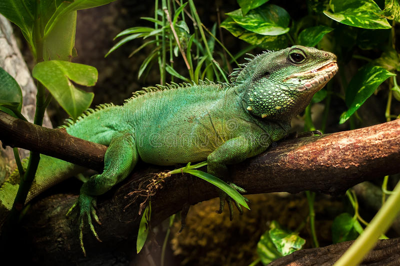 Download Green Lizard stock image. Image of branch, tropical, small - 47008425