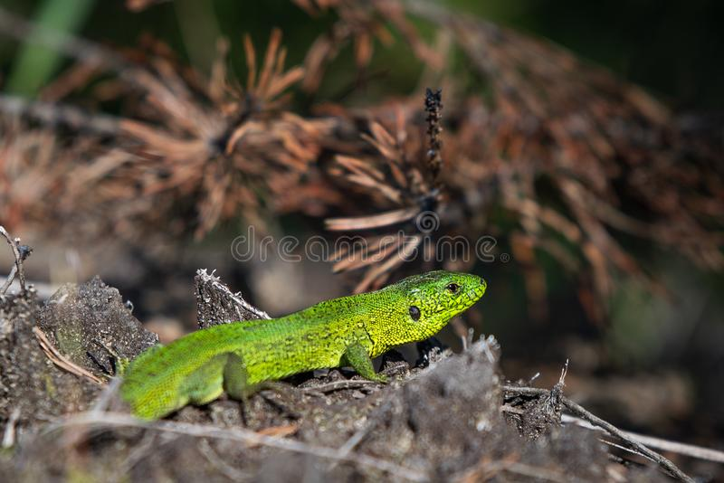 Green lizard closeup royalty free stock image