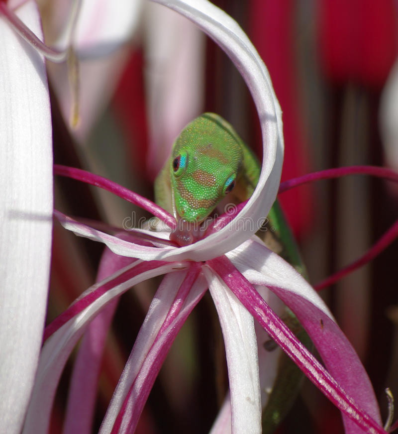 Green lizard drinking from a flower royalty free stock image