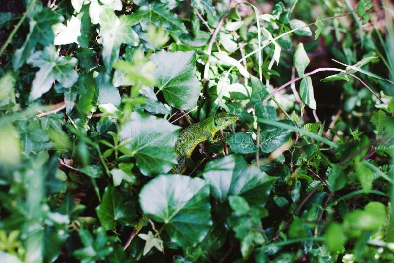 Green lizard in garden. Grass royalty free stock photography