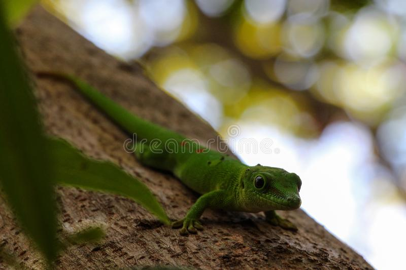 Green lizard gecko royalty free stock images
