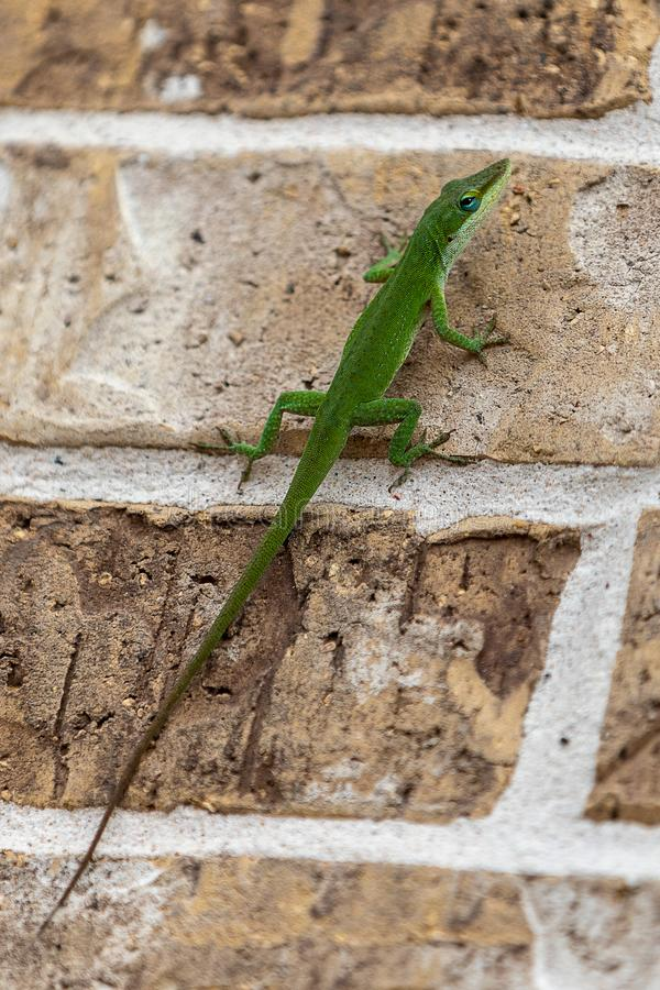 Green lizard giving suspicious sideways glance royalty free stock photography