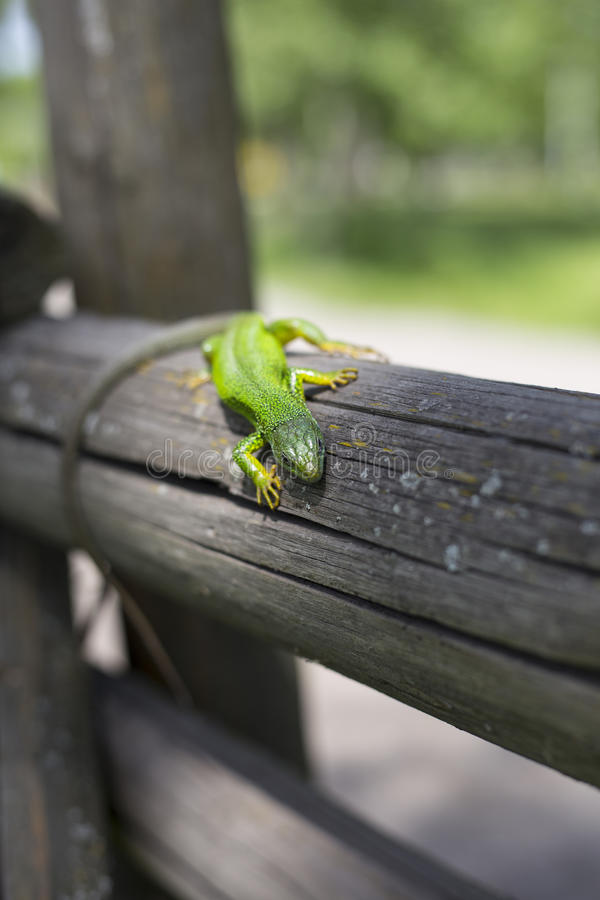 Green lizard - Green lizard with a long tail standing on a piece of wood.  stock photos