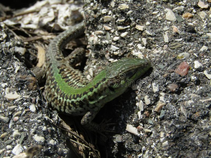 Green lizard. Waiting in a crack royalty free stock photo