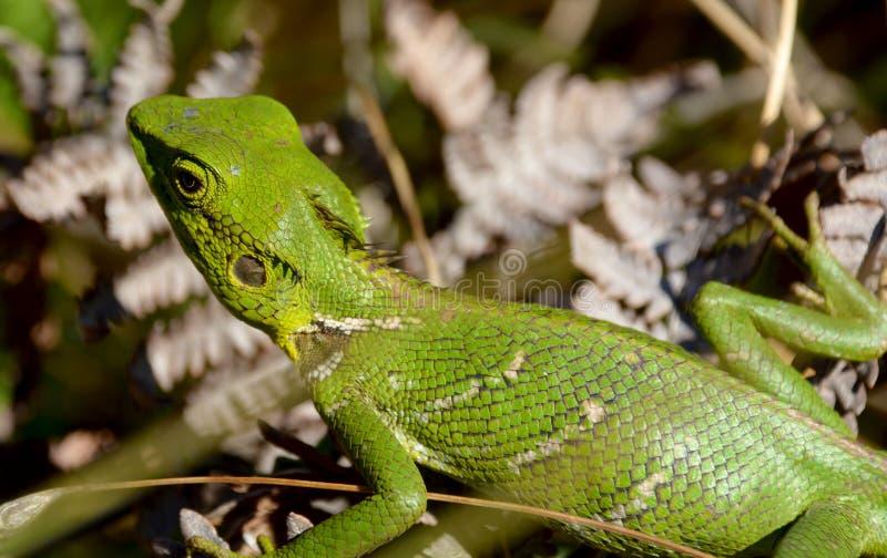 Green Lizard. Warming in the sun stock image