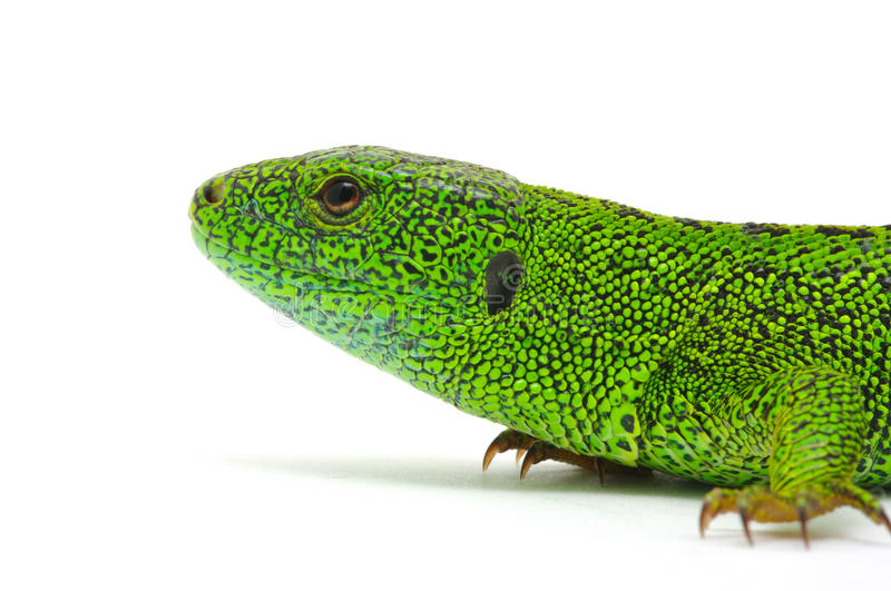 Download Green lizard stock image. Image of reptile, looking, nature - 29972261
