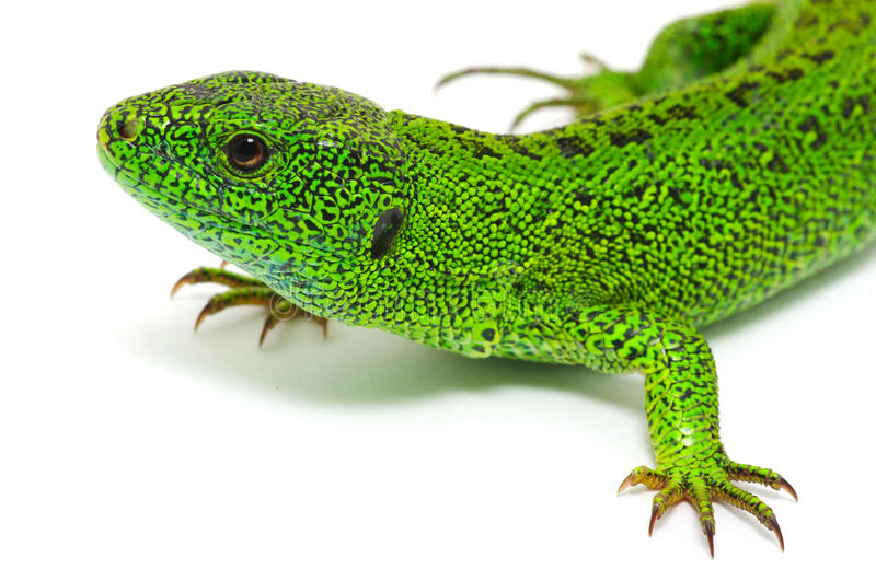Download Green lizard stock photo. Image of brown, nature, looking - 29972290