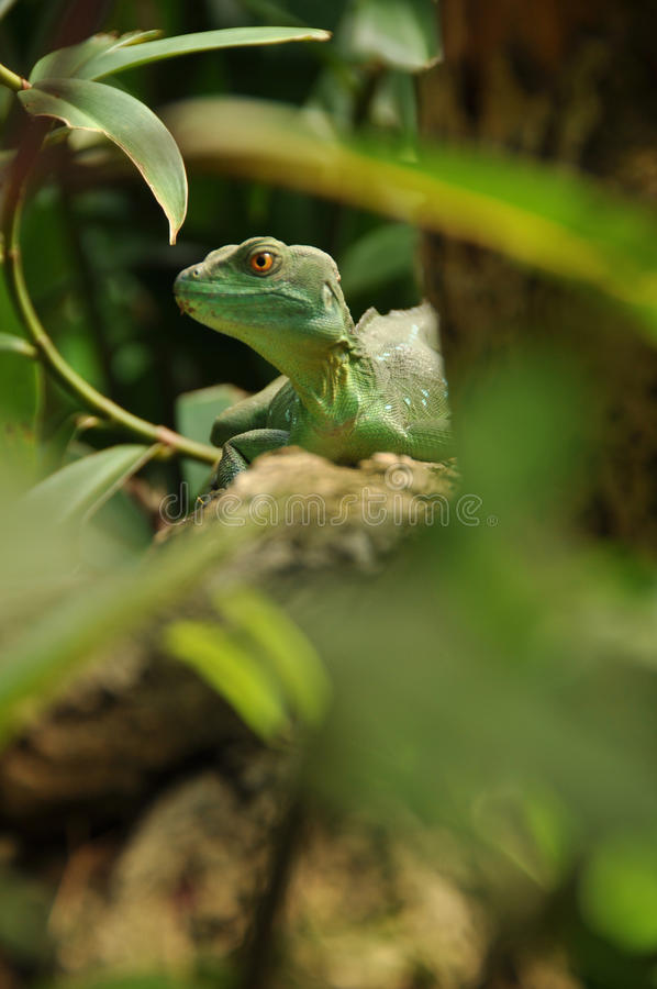 Download Green Lizard In Jungle Watching You Royalty Free Stock Photos - Image: 24591278