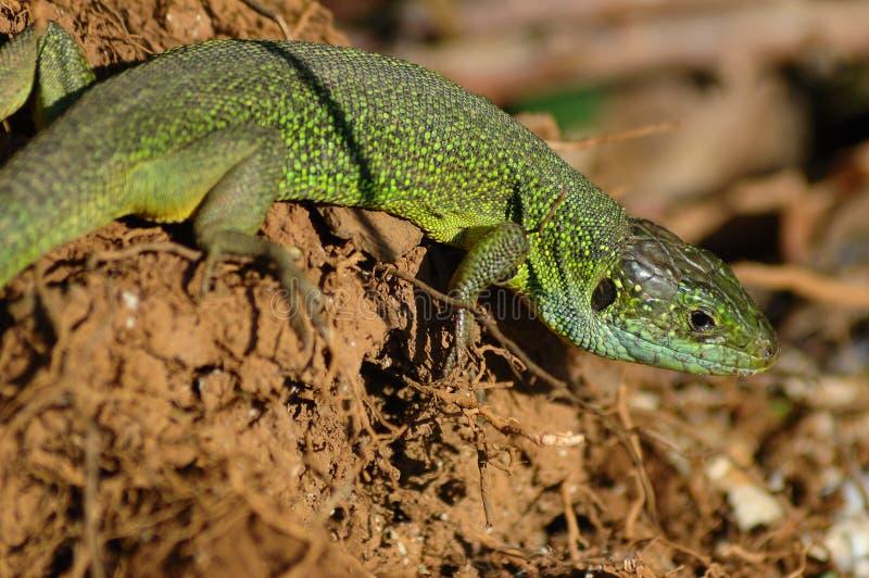 Green lizard (Lacerta bilineata) stock images