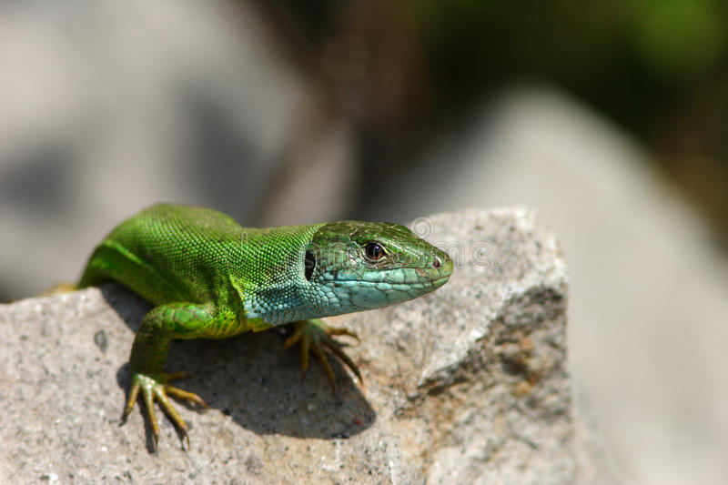 Green lizard / Lacerta viridis royalty free stock images