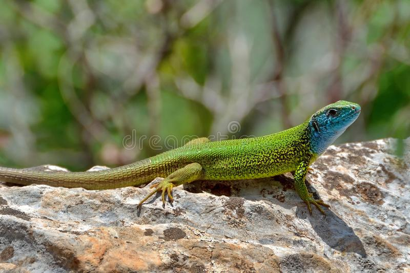 Green lizard. Lacerta Viridis sitting on a stone