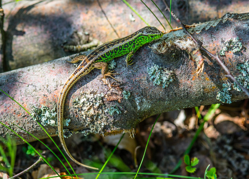 Green lizard on a log stock photography