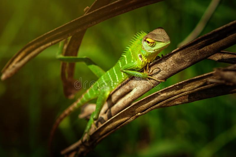 Green lizard with a long tail standing on a piece of leaf stock photography