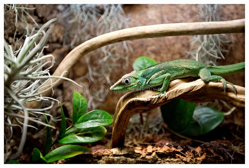 Green lizard with a long tail standing on a piece of wood. Madagascar, Green lizard with a long tail standing on a piece of wood royalty free stock photo