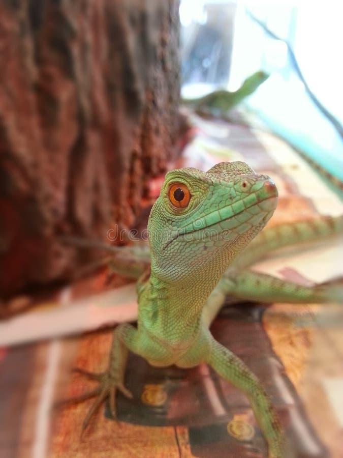 Green Lizard Male stock photo