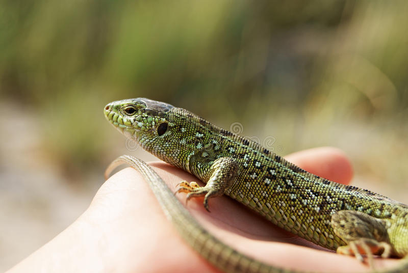 Green Lizard on a palm stock images