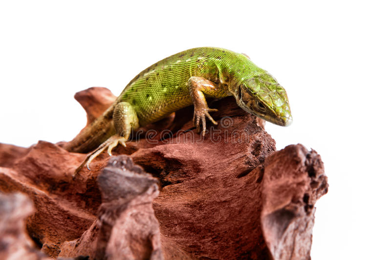 Green lizard relaxes on a piece of wood. Studio photography stock photo