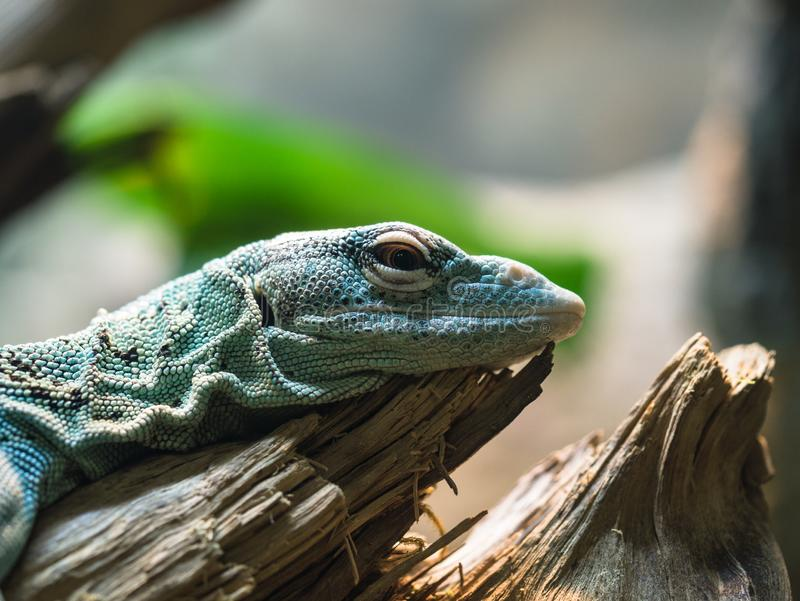 Green Lizard Resting on wood. A green lizard resting on a piece of wood in profile. The subject is with room for text and logos stock photo