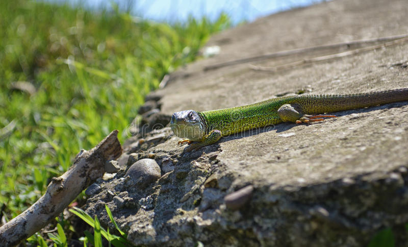 Download Green Lizard on a Rock stock image. Image of creature - 26410959