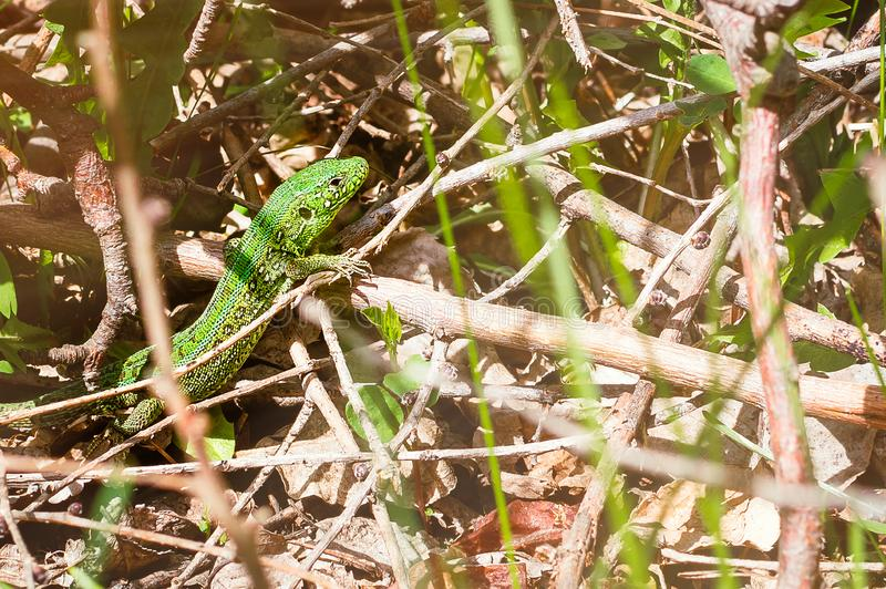 A green lizard sits among the branches on a summer day. Close-up, selective focus. stock image
