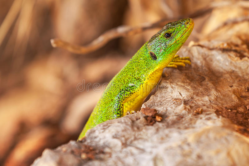 Green lizard sits on dry stones royalty free stock image