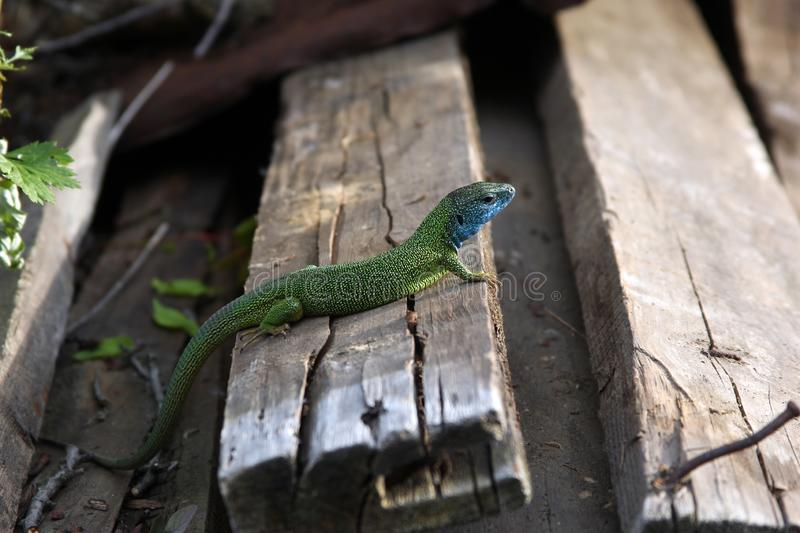 A green lizard sits on logs stock photography