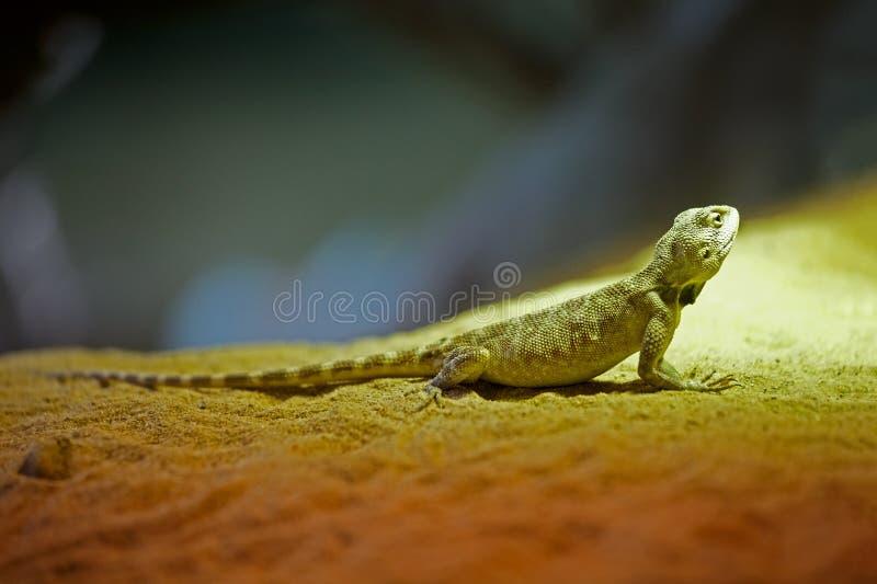 Green lizard sitting on the sand. stock photo