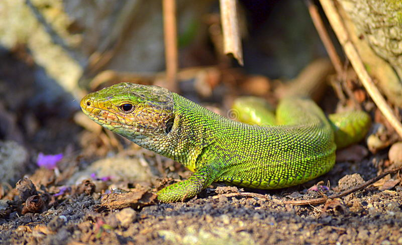 Download Green lizard in the sun stock photo. Image of colorful - 59046294