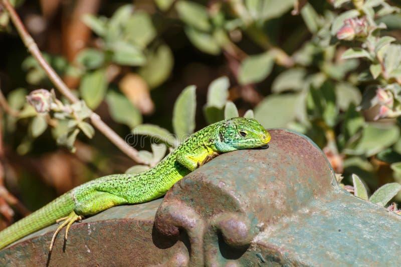 Green lizard on a fountain stock photos