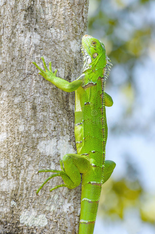 Green lizard on a tree trunk, known as Iguana royalty free stock image
