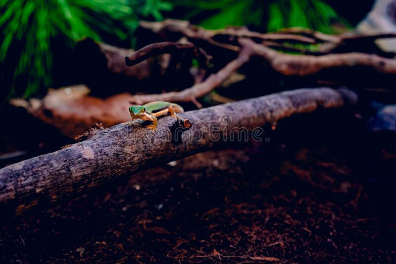 Green lizard walking on a piece of wood over brown dry leaves surrounded by tree branches. A green lizard walking on a piece of wood over brown dry leaves royalty free stock photo