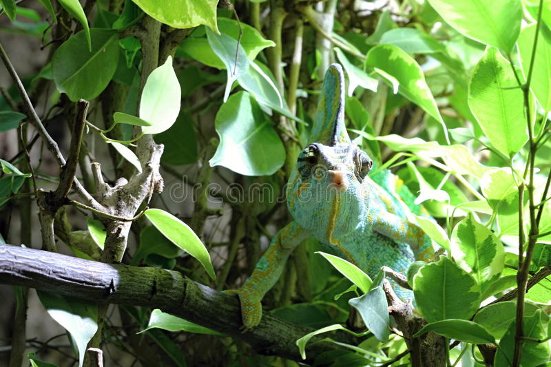 Green Lizard In The Wood Royalty Free Stock Image