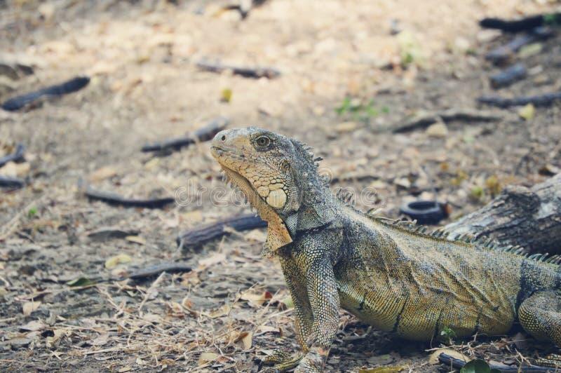 Download Green Lizard Beside Wood Piece Stock Photo - Image of dragon, wildlife: 83016526