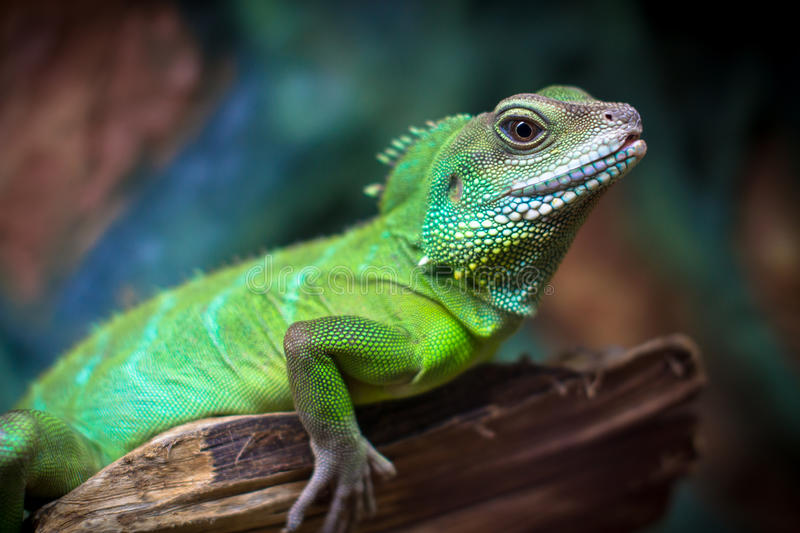 Download Green lizards stock photo. Image of skin, curve, prey - 36160590