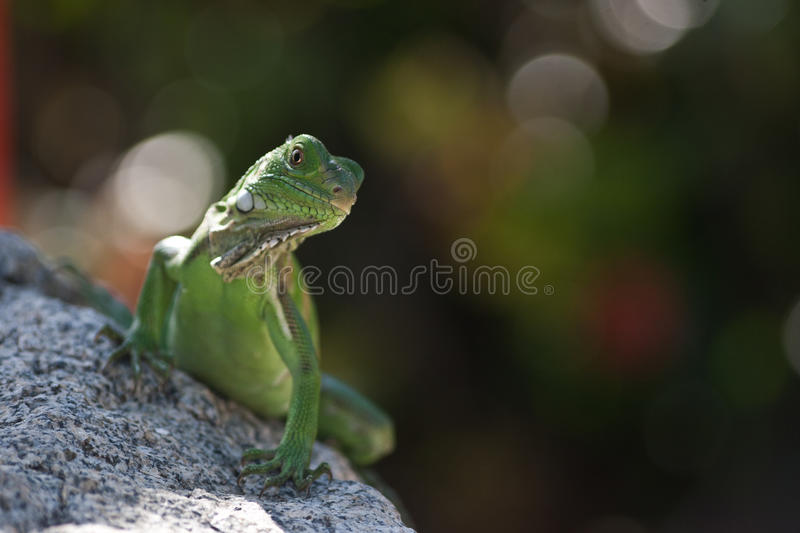 Green Lizzard stock photography