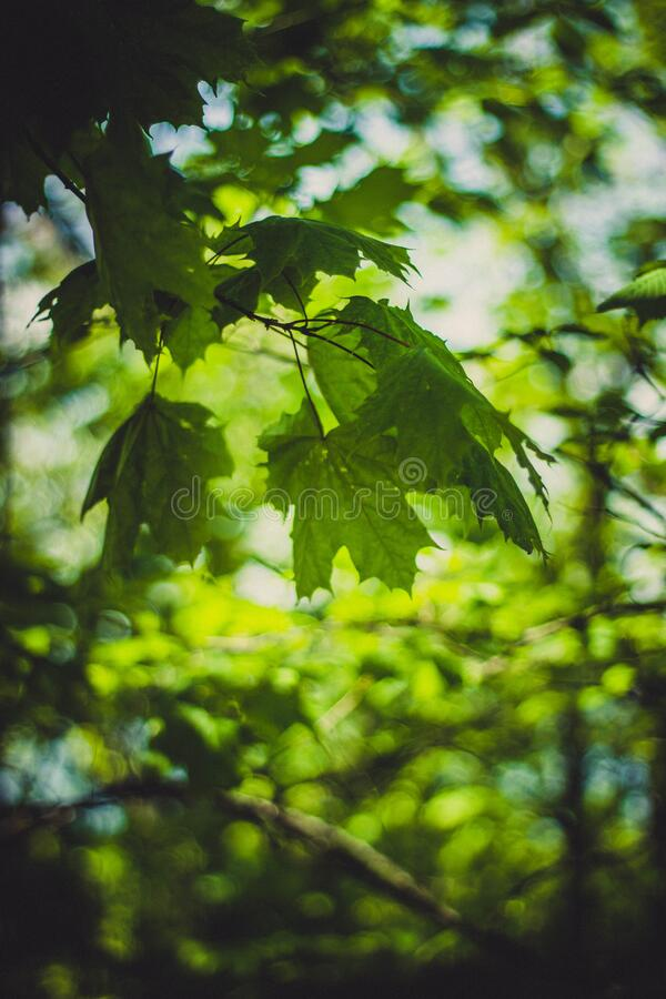Green Lobed Leaves On Branch Free Public Domain Cc0 Image