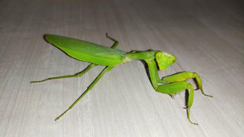 Green locust aka grass hopper sitting on Table. Green Locust aka Grass hopper closeup view looking in camera stock image