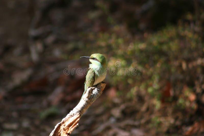 Green Long-beak Bird on Brown Wooden Tree Branch royalty free stock photography