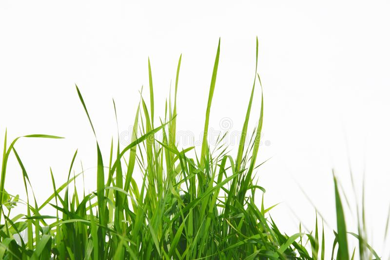 Green long grass isolated on white background stock images