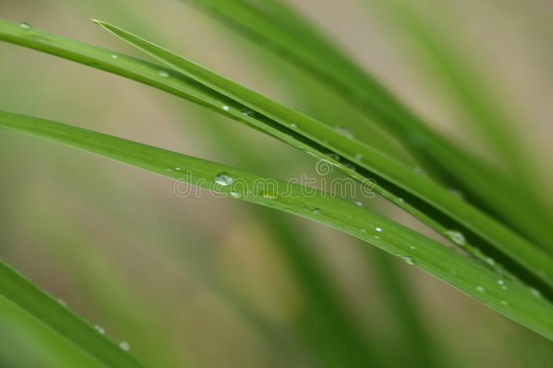 Green long leaves with drops. Summer time royalty free stock images