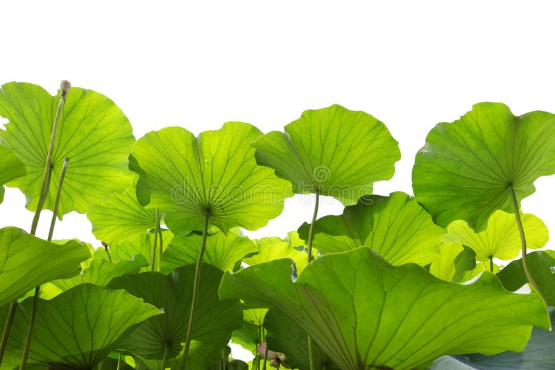 Green lotus leaf royalty free stock photography