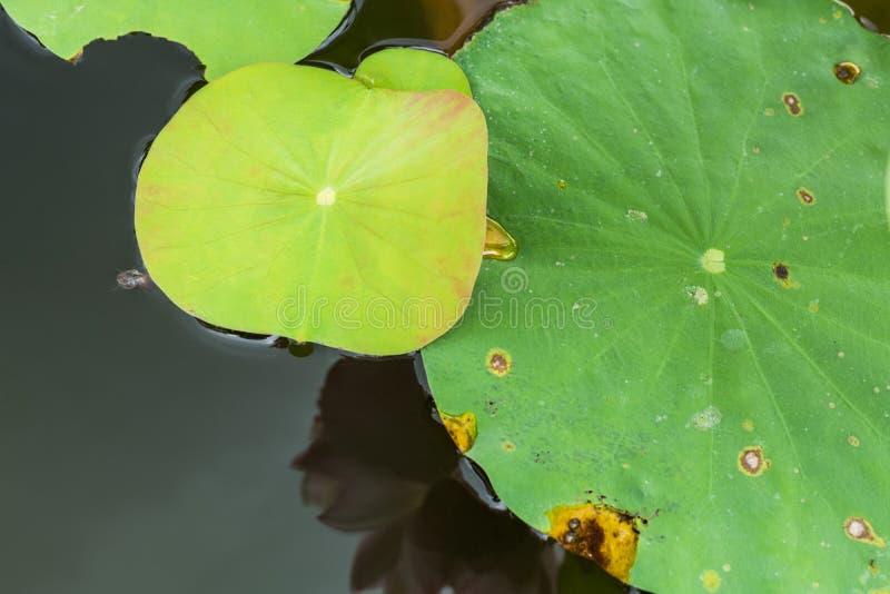Lotus leaf background stock photo