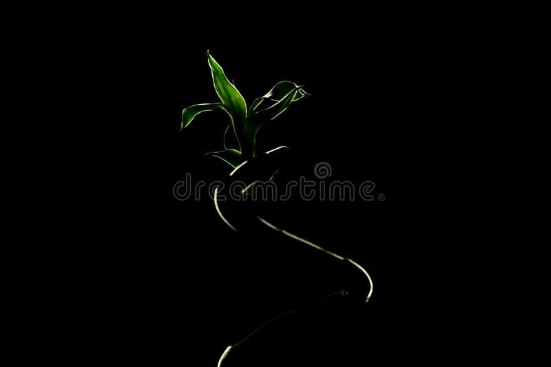 Green Lucky bamboo stalk on black background, copy space. Ecology concept royalty free stock photos