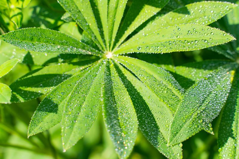 Green lupine leaves with water drops. beautiful natural background. Closeup of lupine leafs and water drops. Latin name: Lupinus wolfish, green, macro, natural stock photo