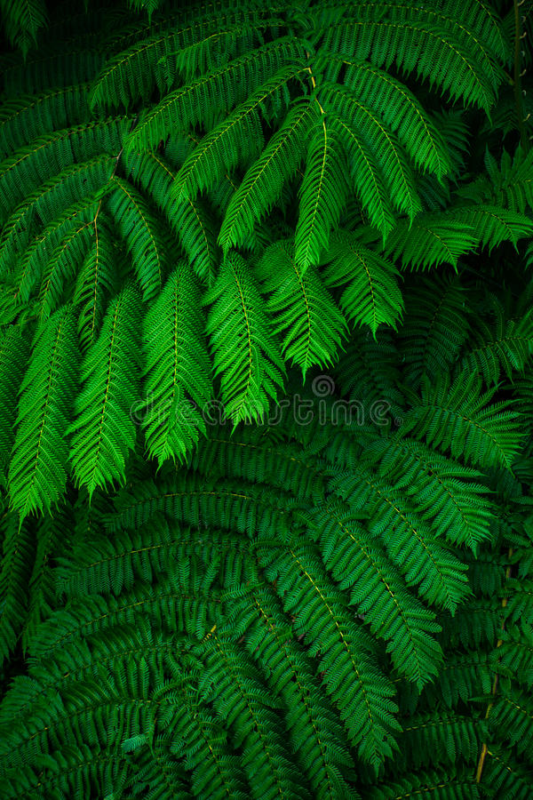 Green lush ferns growing in wild rain forest of Australia. Green lush ferns growing in wild rain forest of Queensland Australia stock image