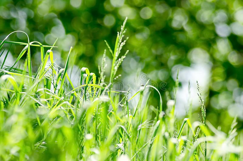 Green lush grass summer sunny day on a Dim background greenery stock image