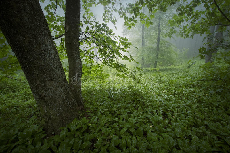 Green lush vegetation in forest after rain. Green lush vegetation in forest with fog after rain royalty free stock photography