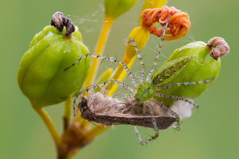Download Green lynx spider stock photo. Image of catch, arthropod - 33149046