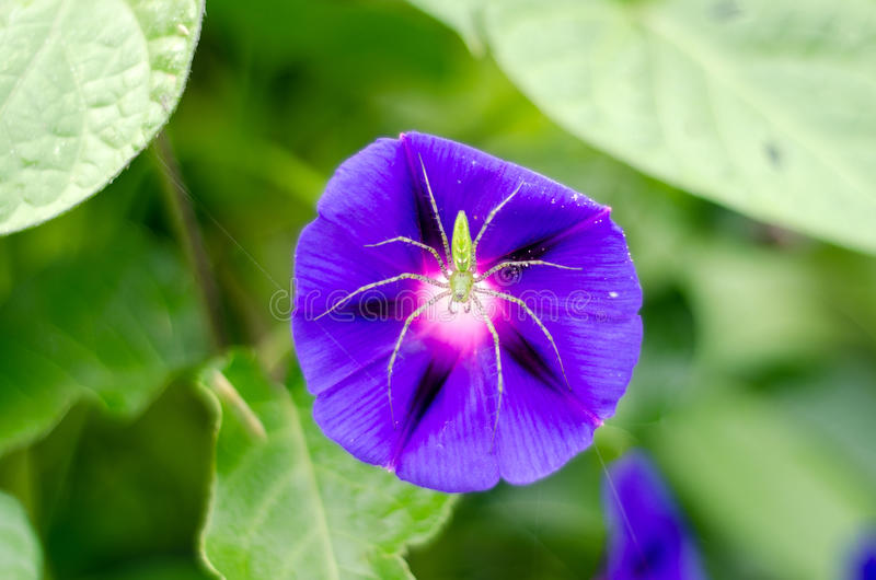 Green Lynx Spider on Purple Morning Glory stock photography